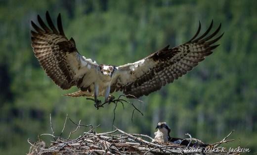 Nest Building Osprey
