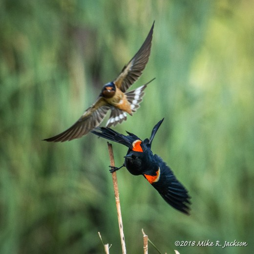 Red-winged Blackbird and Barn Swallow