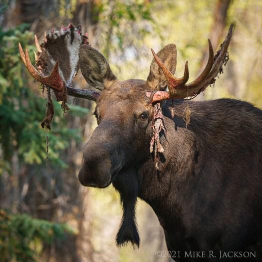 Sheridan Moose