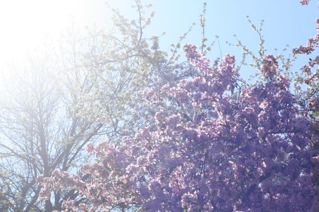 Cherry Blossoms | The Best of this Life