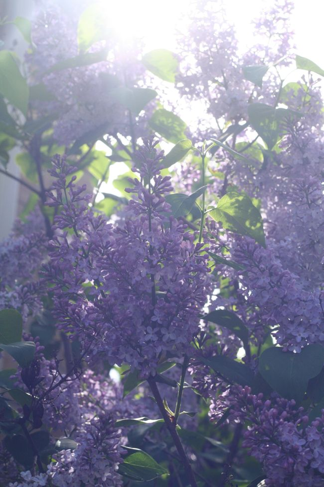 Lilacs | The Best of this Life