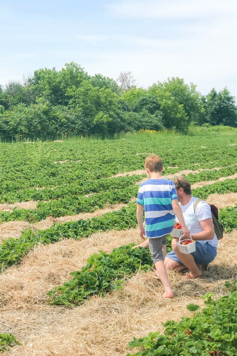 Ottawa Strawberry Picking