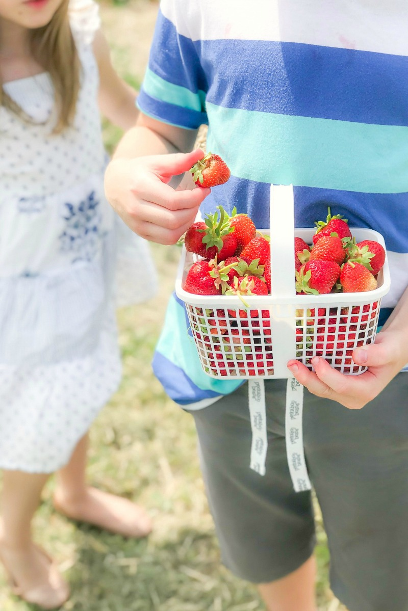 Strawberry picking in Ottawa