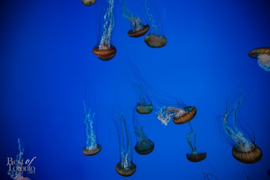 Jellyfish specifically Pacific Sea Nettles (their nematocysts contain powerful paralyzing toxins)