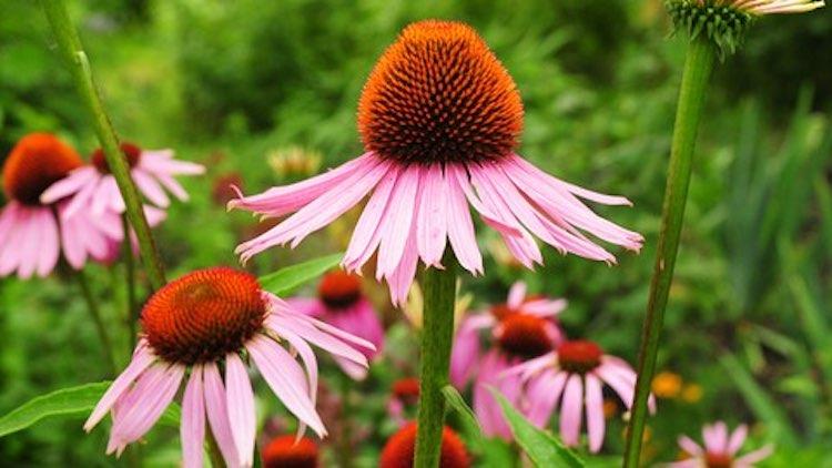 Herbalism- Growing Top Medicinal Plants