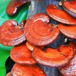 Herbalism- Medicinal Mushrooms Certificate