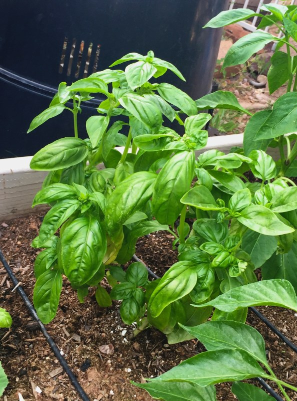 Basil for pizza, yum!