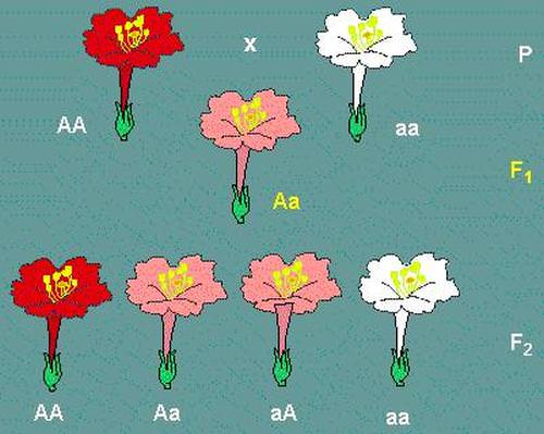 Breeding Cannabis, F1 and F2 Explained