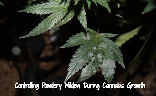 Powdery Mildew Control During Cannabis Growth