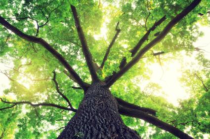 BTC April 16, 2012 January 29, 2016 Drought , Oak Pollen , Oak Trees