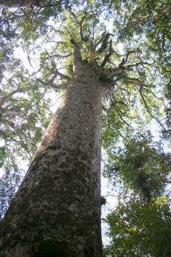 Kauri Forest in Bay of Islands  Puketi & Omahuta native forest in Norsland 23 IMG 4972 683x1024