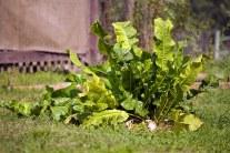 How To Grow and Prepare Horseradish