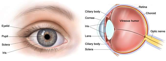 How the Retina Helps Us See?