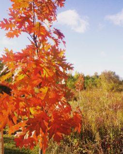 Memorial Oak Saplings