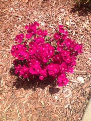 fuschia colored flowers