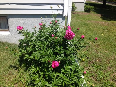 Pink azaleas blooming in our yard