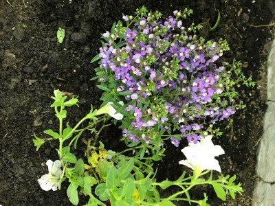 little purple perennials