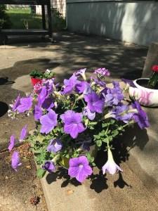 purple potted petunias