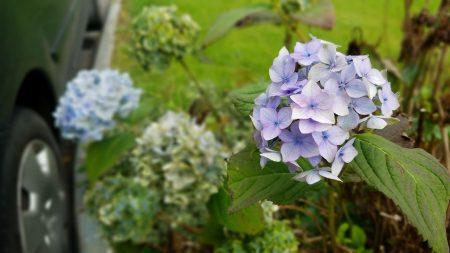 hyacinths in Ireland