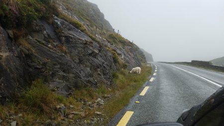 lone sheep by the mountain highway