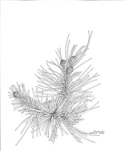 ink drawing: Pine Branches and Cones