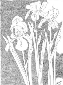 pen drawing: Iris