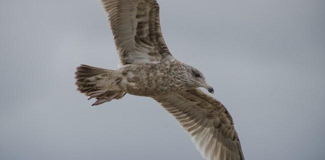 Herring Gull in Winter by Beth Sawickie www.bethsawickie.com/herring-gull-in-winter