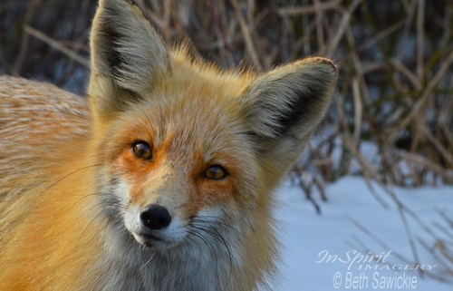 """Image by Beth Sawickie - http://www.bethsawickie.com/inquisitive-red-fox """"Inquisitive Red Fox"""""""