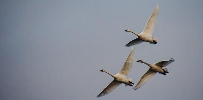 Tundra Swans in Flight by Beth Sawickie www.bethsawickie.com/tundra-swans-in-flight