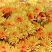 Yellow Mums by Beth Sawickie www.bethsawickie.com/yellow-mums
