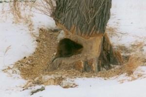 Beaver and tree