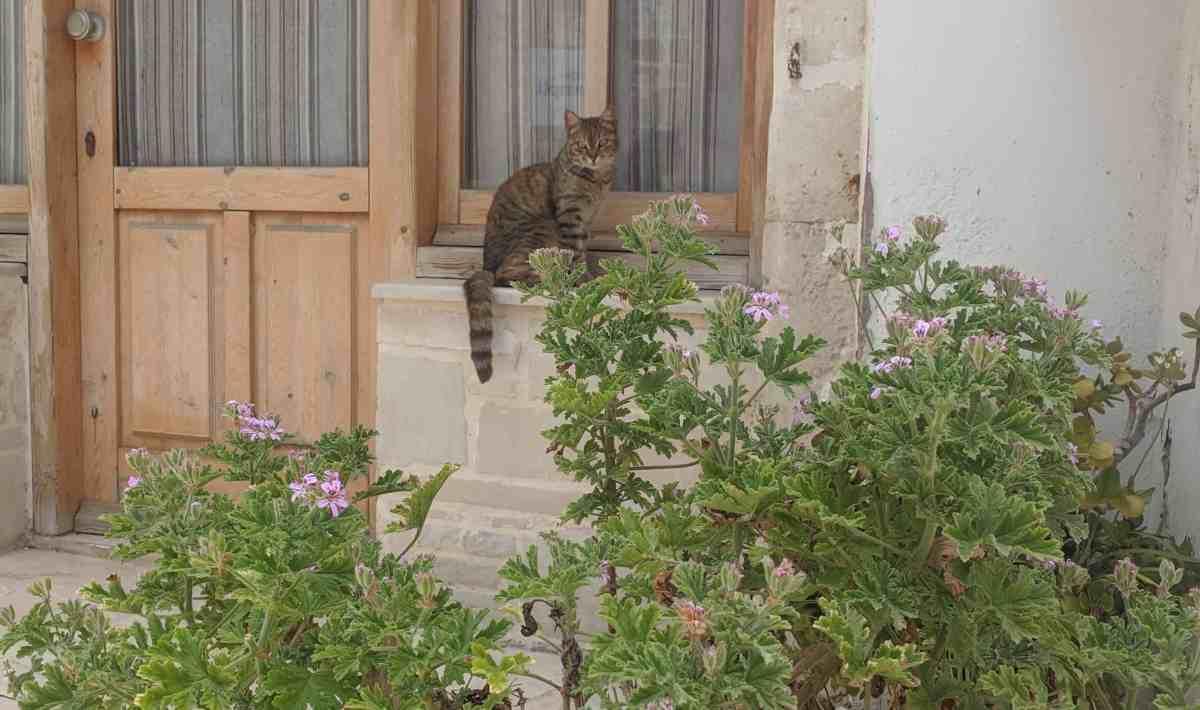 Panormo Cat
