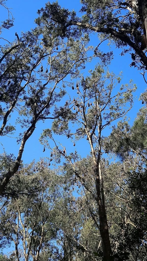 Fruit Bats in the Centennial Gardens