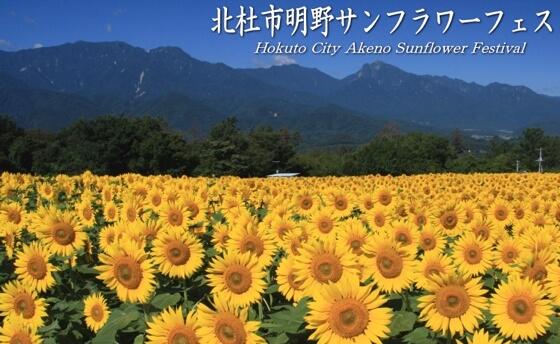 sunflower festival japan