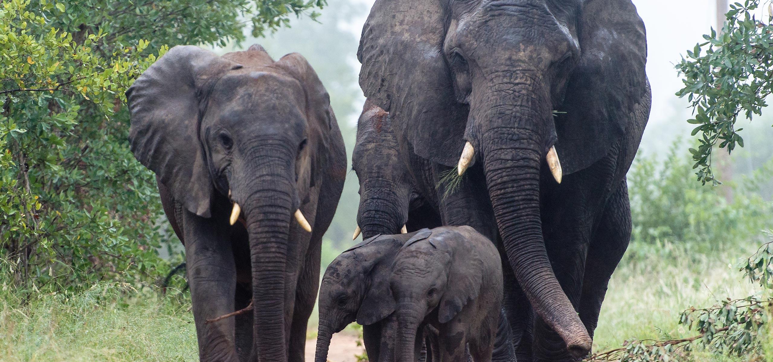 Sabi Sabi Lodge, Elefantenherde
