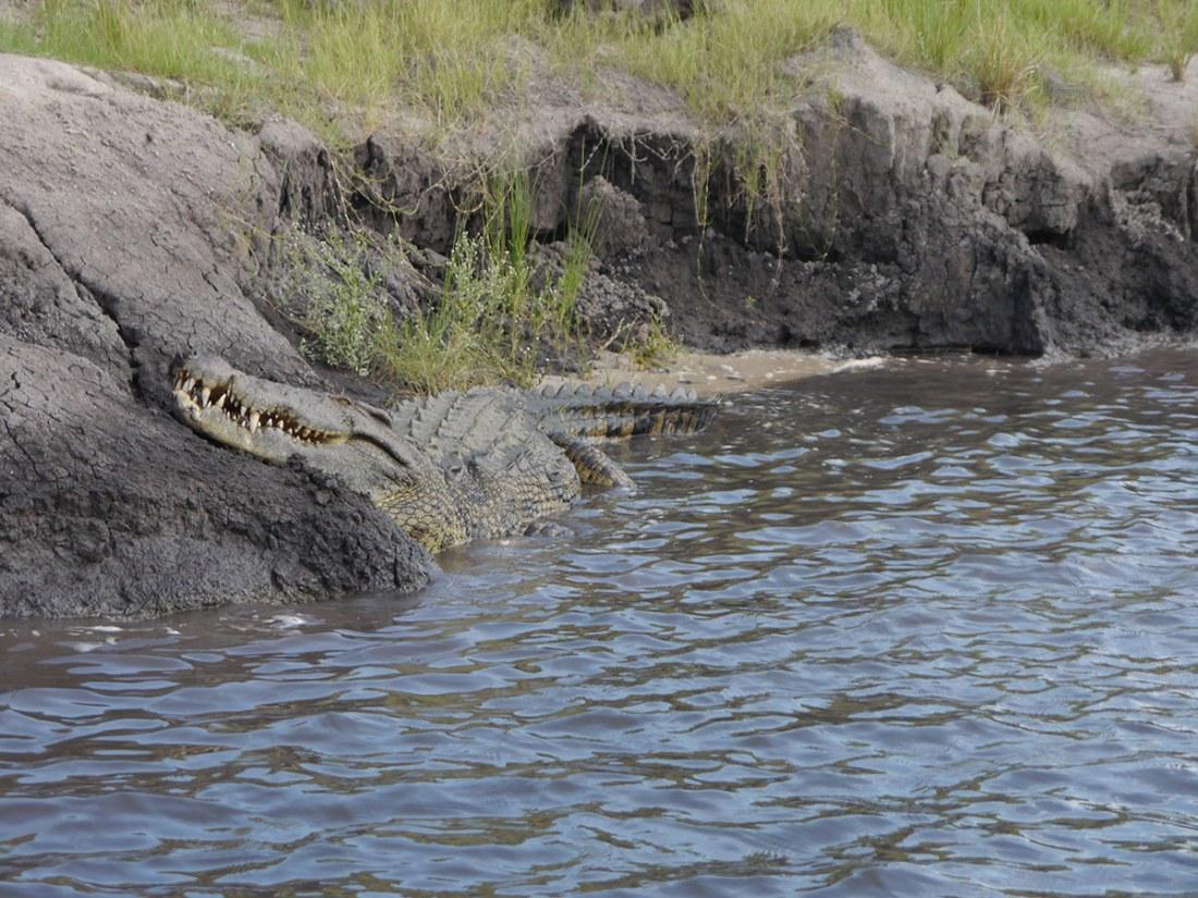 Krokodil am Flussufer