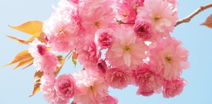 Kirschblütenfest Japan