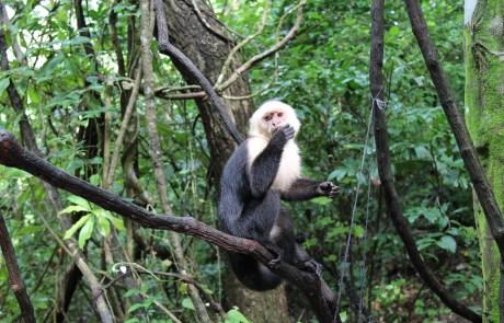 Begegne Affen während deiner Wanderung durch den Urwald