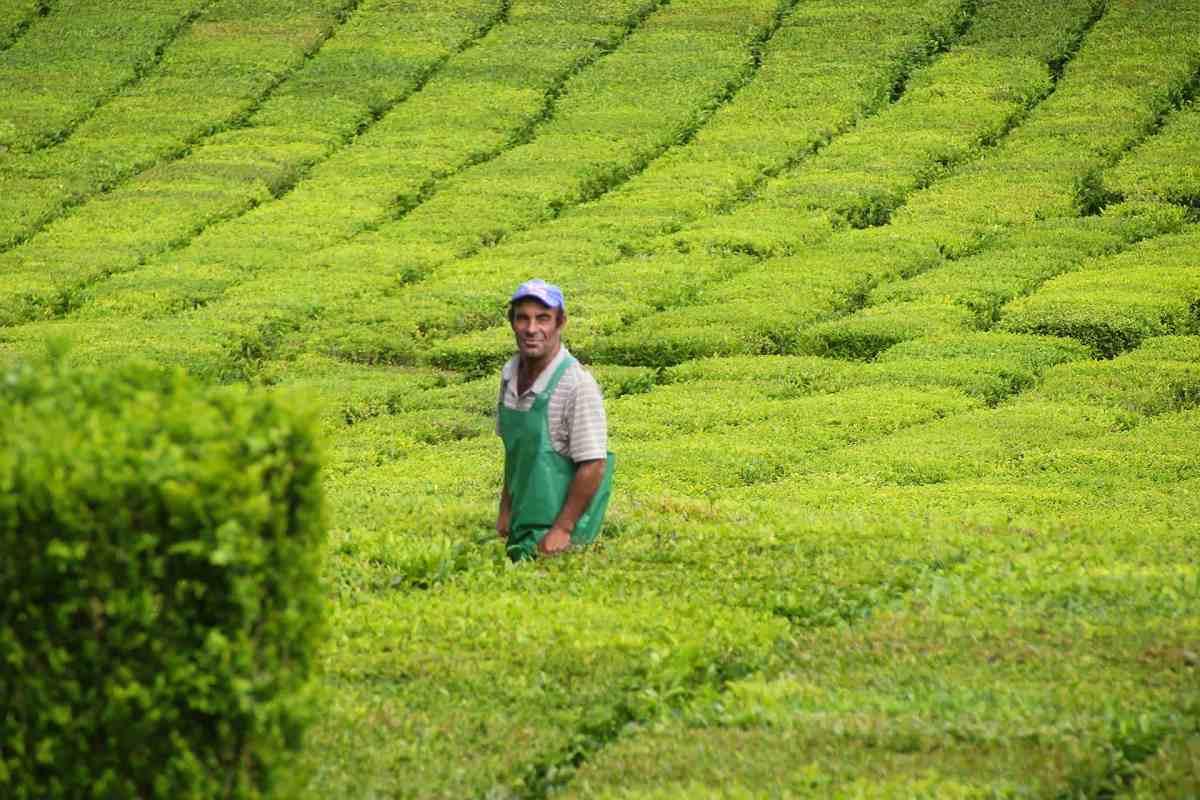 Arbeiter auf den Teeplantagen