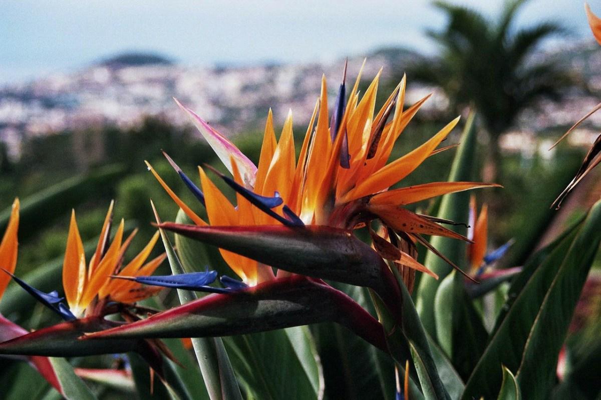 Strelitzien - Wahrzeichen der Blumeninsel Madeira