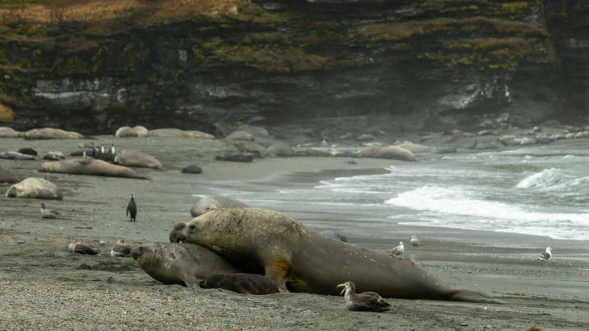 Seeelefant, Tierwelt Moltke Harbor, Südgeorgien