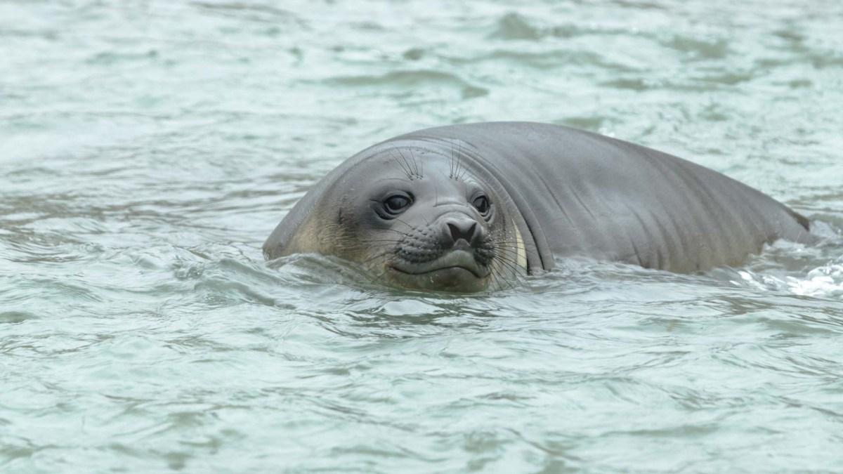 Robbe, Tierwelt Moltke Harbor, Südgeorgien