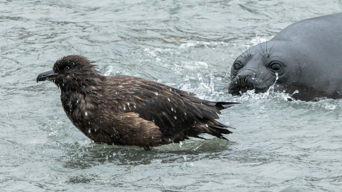 Robbe und Vogel, Tierwelt Moltke Harbor, Südgeorgien