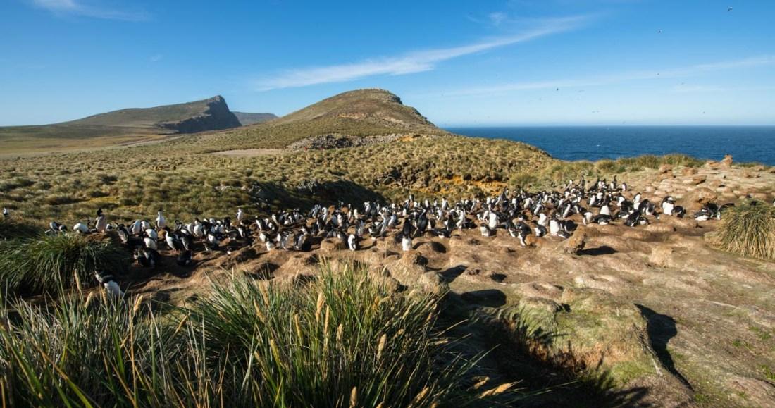 Pinguin Kolonie, Falkland Inseln