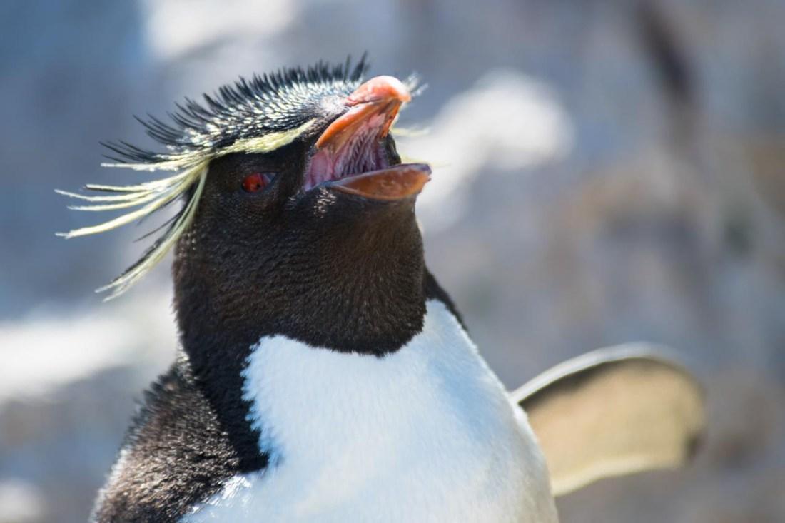 Rockhopper Pinguin, Falkland Inseln