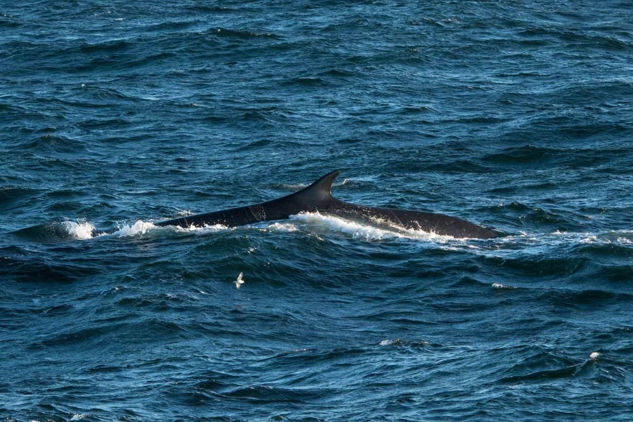 Delfine und Walbeobachtung Gerlache Strait, Drake Passage