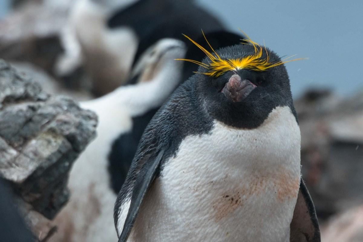 Macaroni Pinguin auf Half Moon