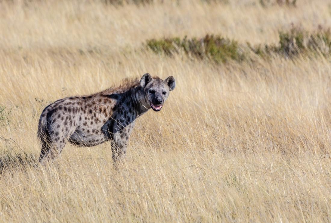 Hyäne in der Kalahari