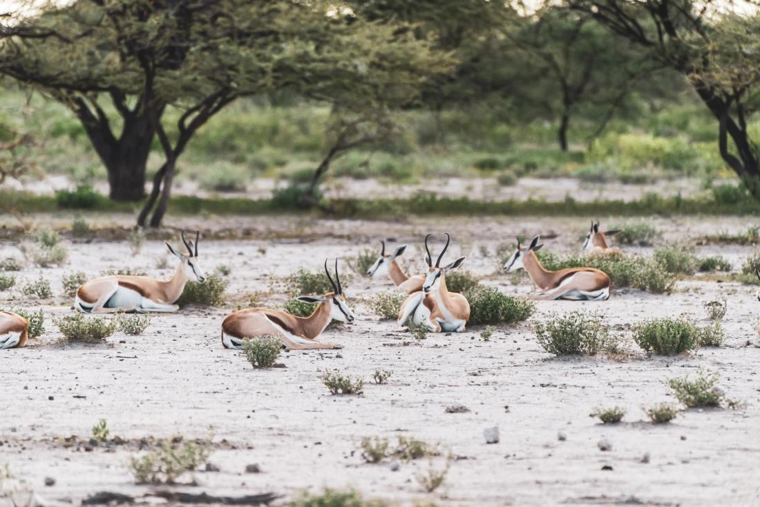 Wildleben in der Kalahari