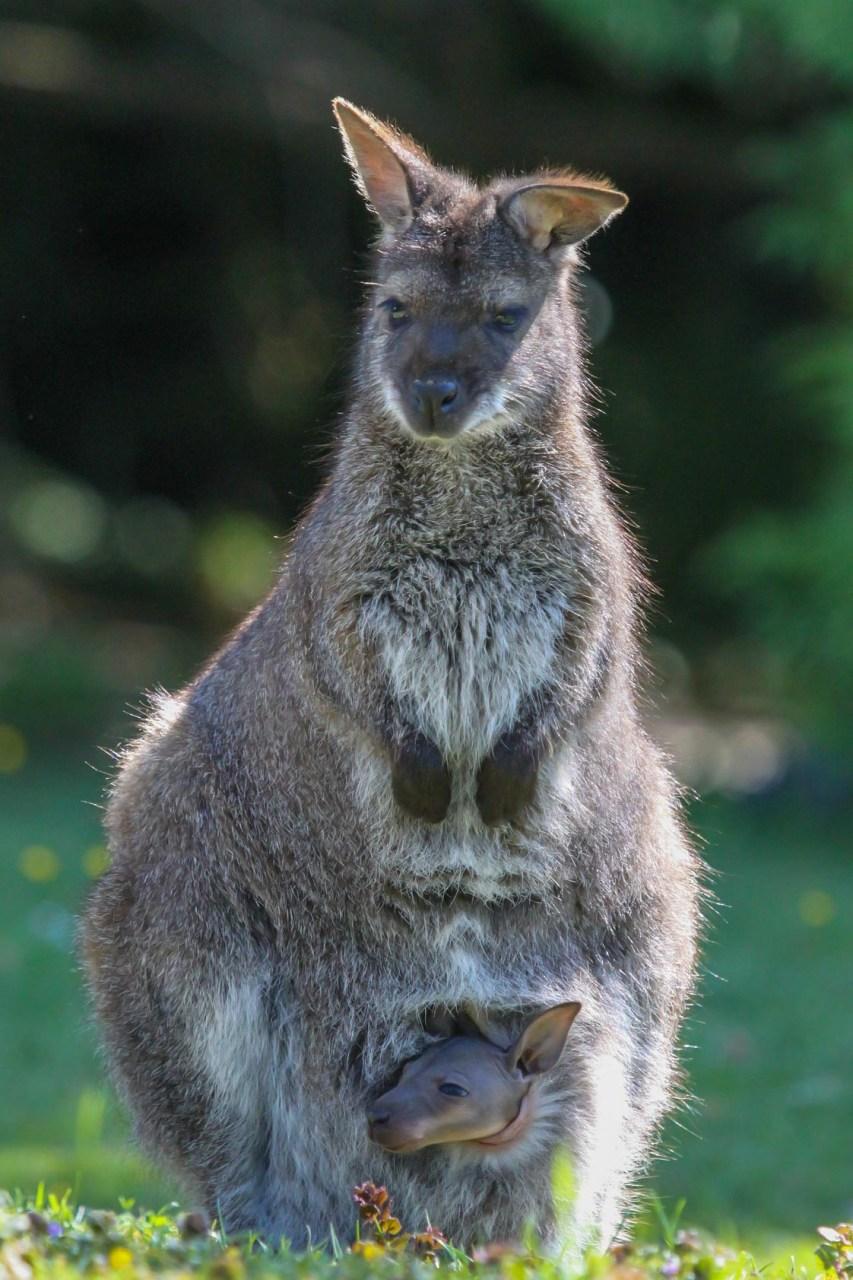 Känguruh mit Baby